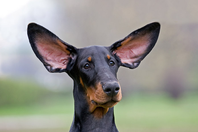How to Keep Your Dog's Ears Clean and Healthy